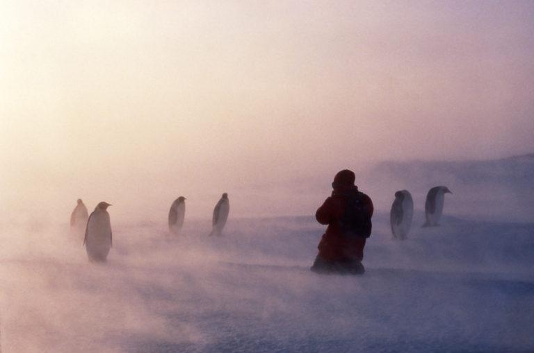 Homme accroupi et manchots empereurs dans le blizzard