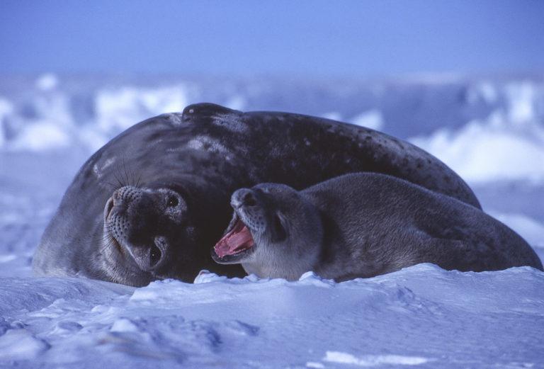 La naissance des phoques de Weddell marque le retour du printemps. Dès le mois d'octobre, plusieurs dizaines de phoques mettent bas à même la banquise, près d'un trou qu'elles entretiennent avec les dents pour éviter qu'il ne regèle