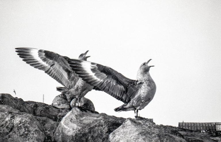 Parade des skuas antarctiques ou posture d'intimidation envers les curieux qui osent s'approcher trop près du nid