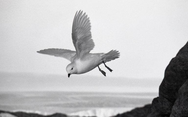Pétrel des neiges. Avec le pétrel de Wilson, le damier du Cap, le fulmar, le skua et le pétrel géant, ce gracieux volatile fait partie de la multitude d'oiseaux qui nichent  chaque été au creux des rochers de l'archipel
