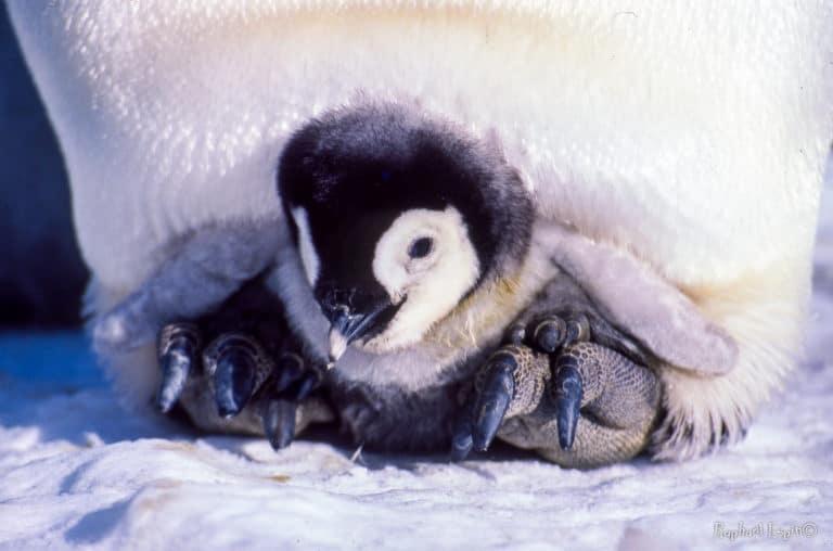 Posé sur les pieds écailleux du parent, l'œuf, puis le poussins sont isolés du sol et à l'abri sous les plumes du ventre
