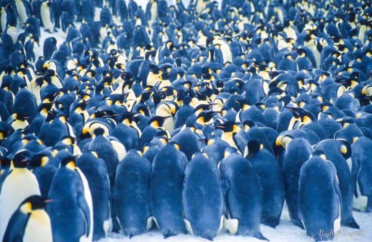 Pas de nid donc mais, au contraire, la nécessité, inédite chez les oiseaux, de se serrer les uns contre les autres pour se préserver du froid. une stratégie qui a fait ses preuves !