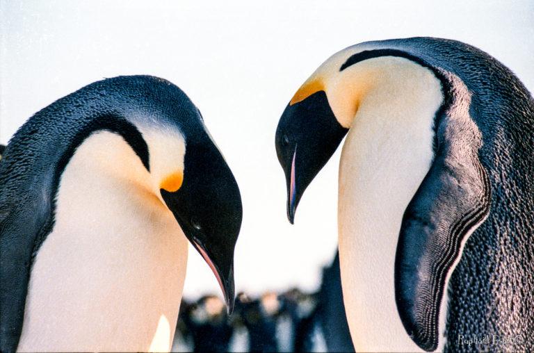 Parade nuptiale et colorée. Chaque année, de nouveaux couples se forment. La femelle pondra un œuf unique qu'elle confiera au mâle avant de repartir pour de longues semaines en quête de nourriture